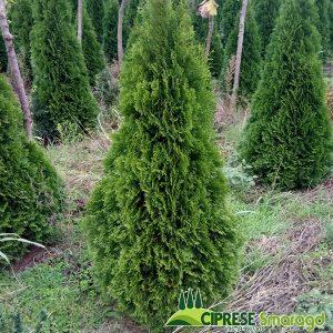 cipresa thuja smaragd 130cm-150cm