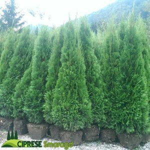 cipresa thuja smaragd 180cm 200cm