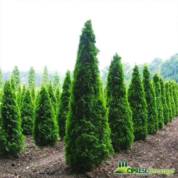thuja occidentalis columna